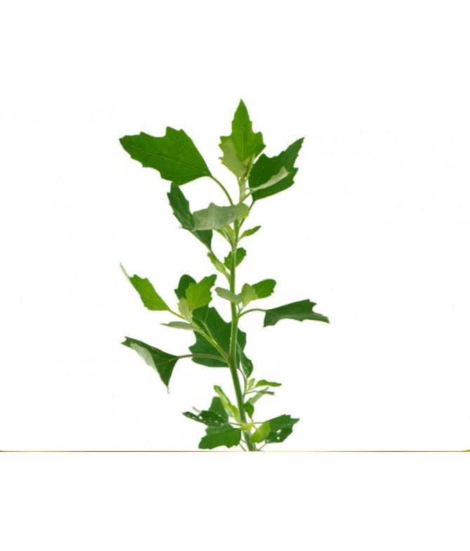 Chenopodium anthelminthicum