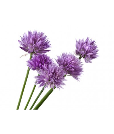 Soğan Çiçek