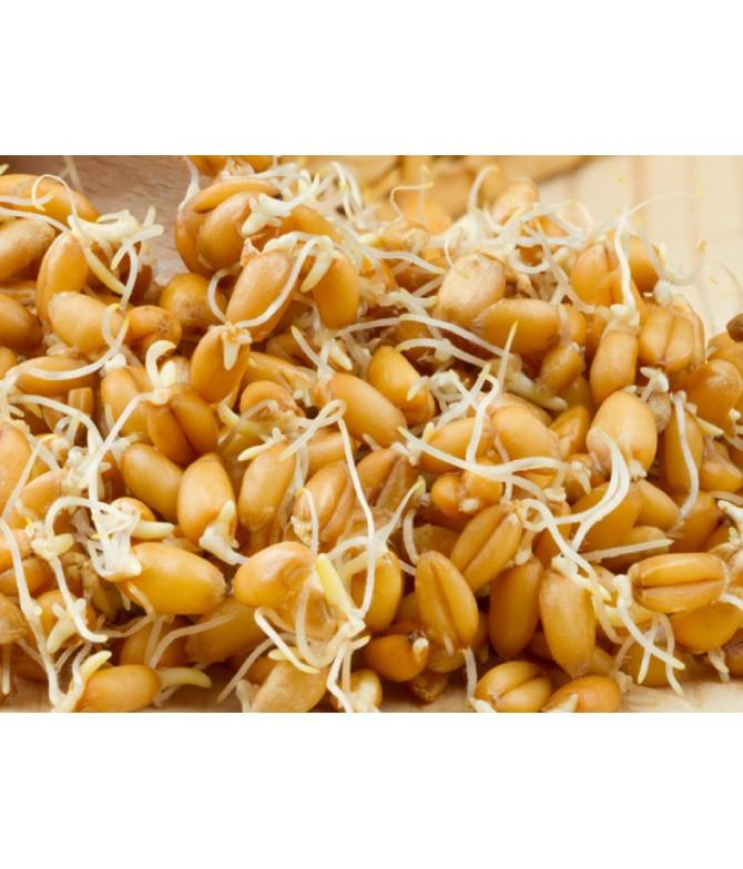 Buğday Filizi